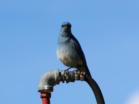 Nothing lovelier to find on the dump station water hose than a bluebird.