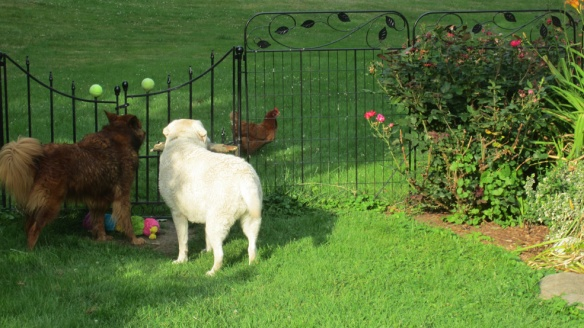 Zoe's cousin dogs are introducing her to new things, including chickens