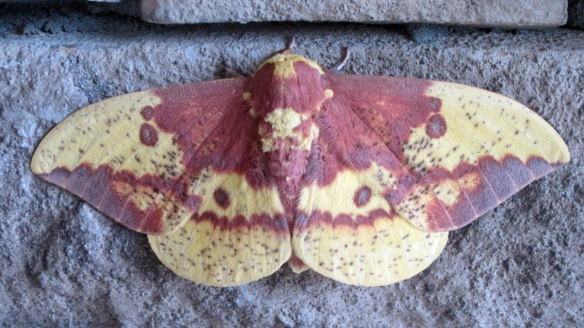 Lots of insects in North Carolina.  This moth was a beautiful one.