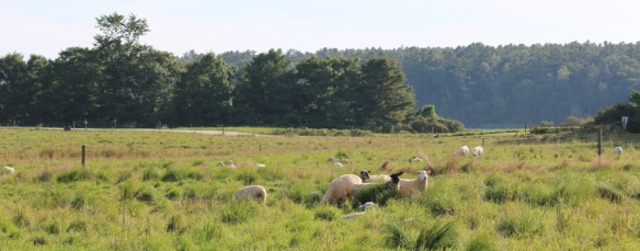 Wolfe's Neck Farm sheep