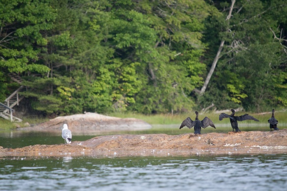 With birds everywhere, including these cormorants