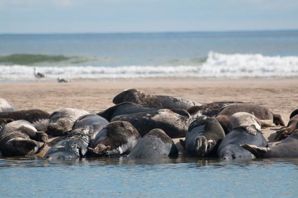 Seals Cape Cod-16