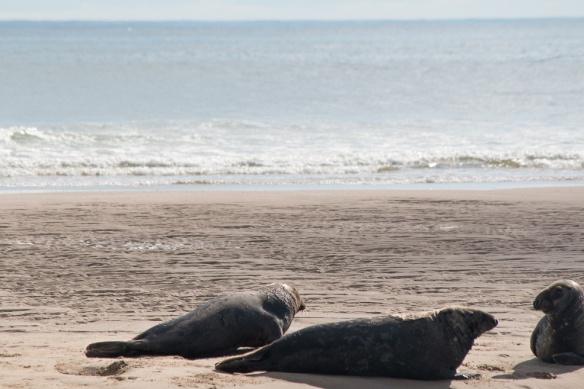 Seals Cape Cod-17