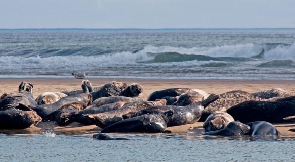 Seals Cape Cod-22