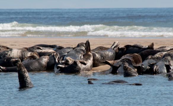 Seals Cape Cod-23