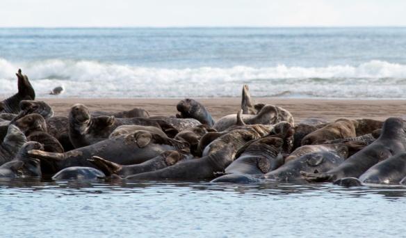 Seals Cape Cod-25