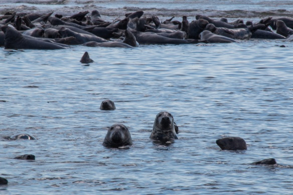 Seals Cape Cod-6