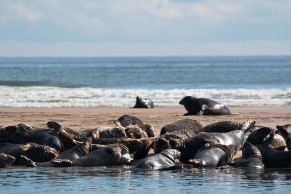 Seals Cape Cod-8