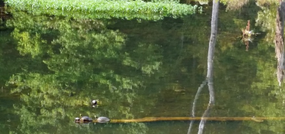 Turtles of all sizes.  I half expected to see an alligator snout poking up