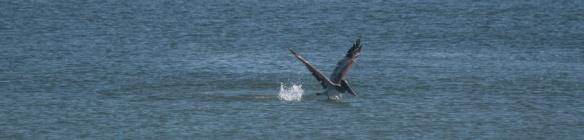 Pelican acrobatics