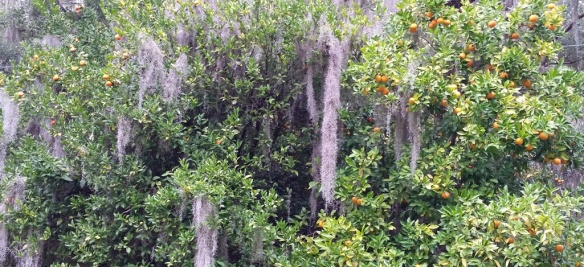 The moss is taking over these citrus trees.