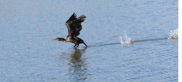 The cormorant took off