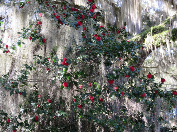 The cemetery was full of huge camellias draped with Spanish moss
