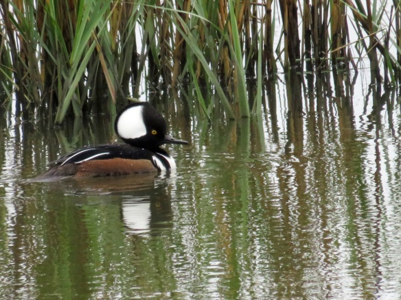 This merganser blends in with the reed, except for that big white target on its head.