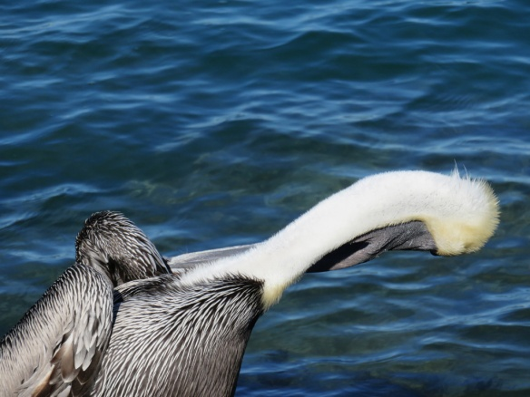 This pelican did a thorough grooming
