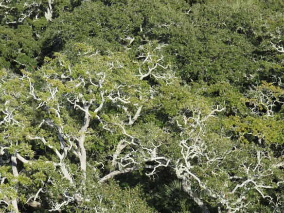 Patterns of live oaks seen from the lighthouse above.