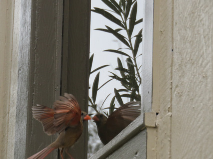 This cardinal kept attacking its reflection in the interpretative center's window