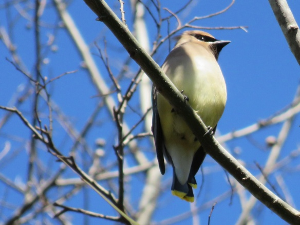 There were flocks of cedar waxwings on the trail.