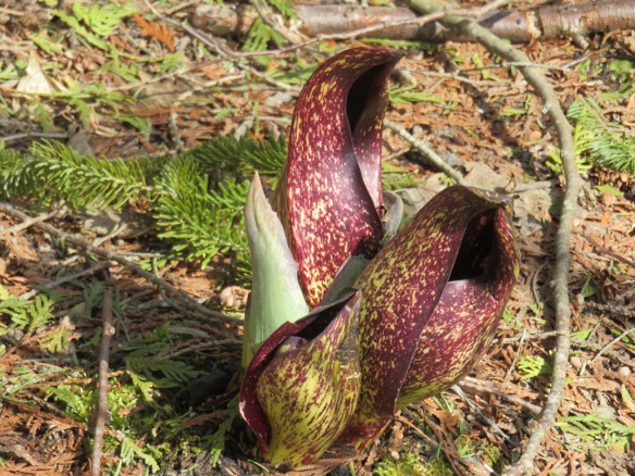 Skunk cabbage.