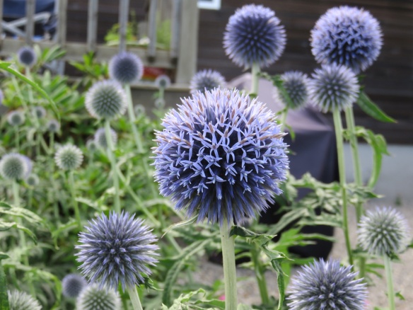 These globe thistles were spectacular.