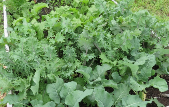 The russian kale, peas, and beets are thriving