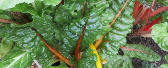 The chard has been a trooper. Always abundant and always delicious.