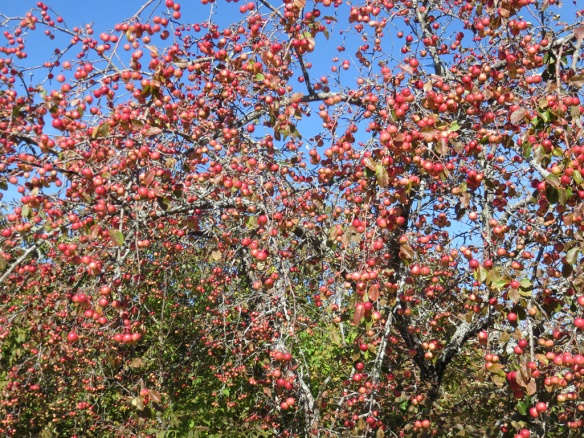 Roadside crabapples--a great year for apples in Maine