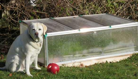 For some reason, Zoe is intrigued by the cold frame and visits it every morning on her rounds.