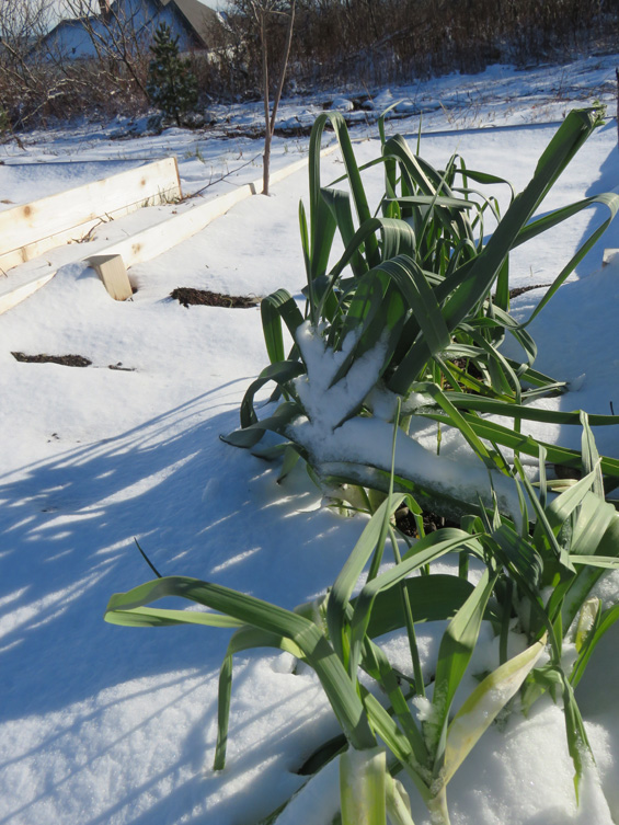 Snowy leeks.