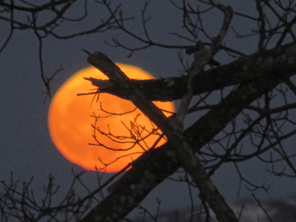 This was the actual color of the moon when it first rose and was low on the horizon, seen through the oak branches.
