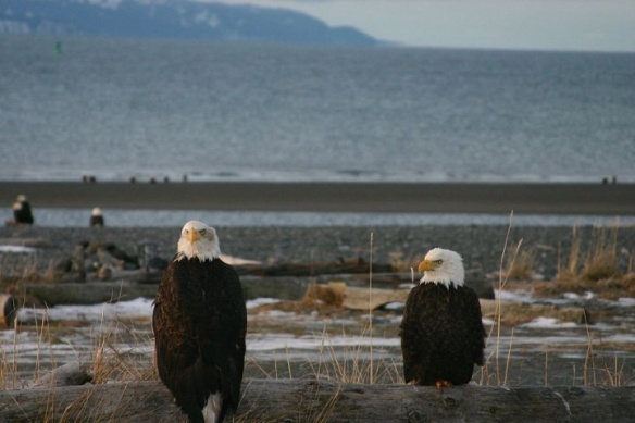 Eagles in Kachemak Bay.jpg