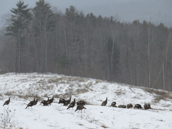 The local turkeys seemed to have survived hunting season. There were more than 30 turkeys in this snowy group.