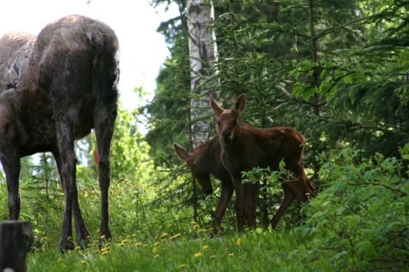 Moose Babies.jpg