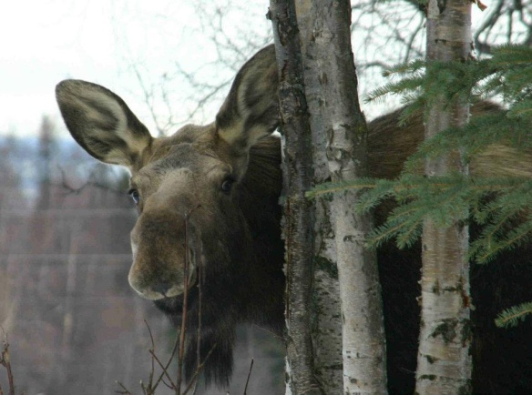Moose in the Paddock.jpg
