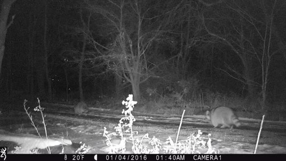 I gave George a game camera for Christmas to check out the wildlife on our property. So far, all we've seen are these fat raccoons heading down the driveway in the middle of the night.