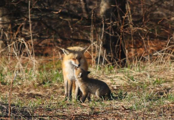 Fox stuff-107