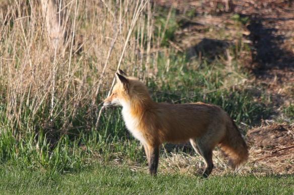 Fox stuff-132